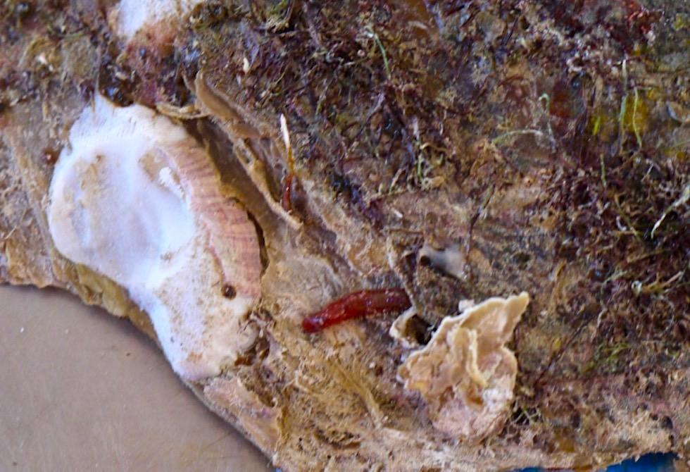 Pinctada maxima - Parasiten & Würmer beschädigen Muschel - Broome, Kimberley - Western Australia