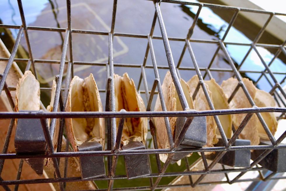 Pinctada maxima - Südsee Perlmuschel: vorsichtiges Öffnen, um Perl-Implantate einsetzen zu können - Kimberley - Western Australia