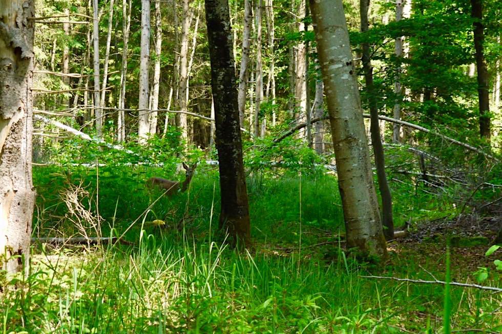 Wiesengänger Etappe 03 - Reh im Wald - Allgäu - Bayern