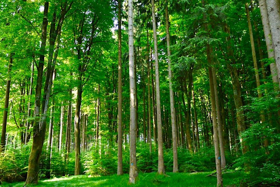 Wiesengänger Etappe 03 - Wandern durch ein schönes Waldstück - Allgäu - Bayern