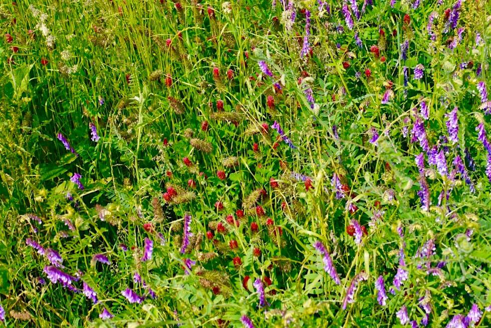 Wildblumenwiese auf der Wiesengänger Route - Allgäu - Bayern