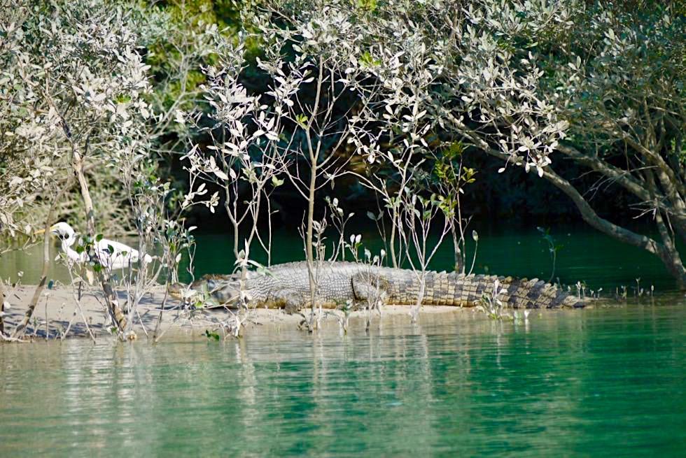 Willie Creek - Salzwasserkrokodile: Wächter Südsee Perlen - Kimberley - Western Australia