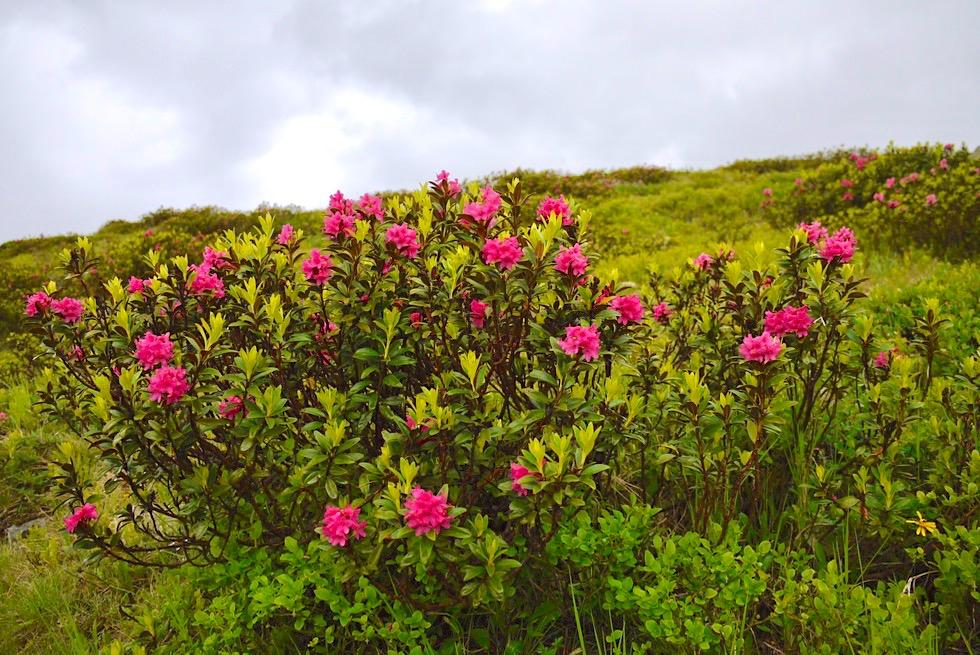 Rostrote Alpenrose oder Rostroter Almrausch - Flora der Bergwelt von Paznaun, Tirol - Österreich