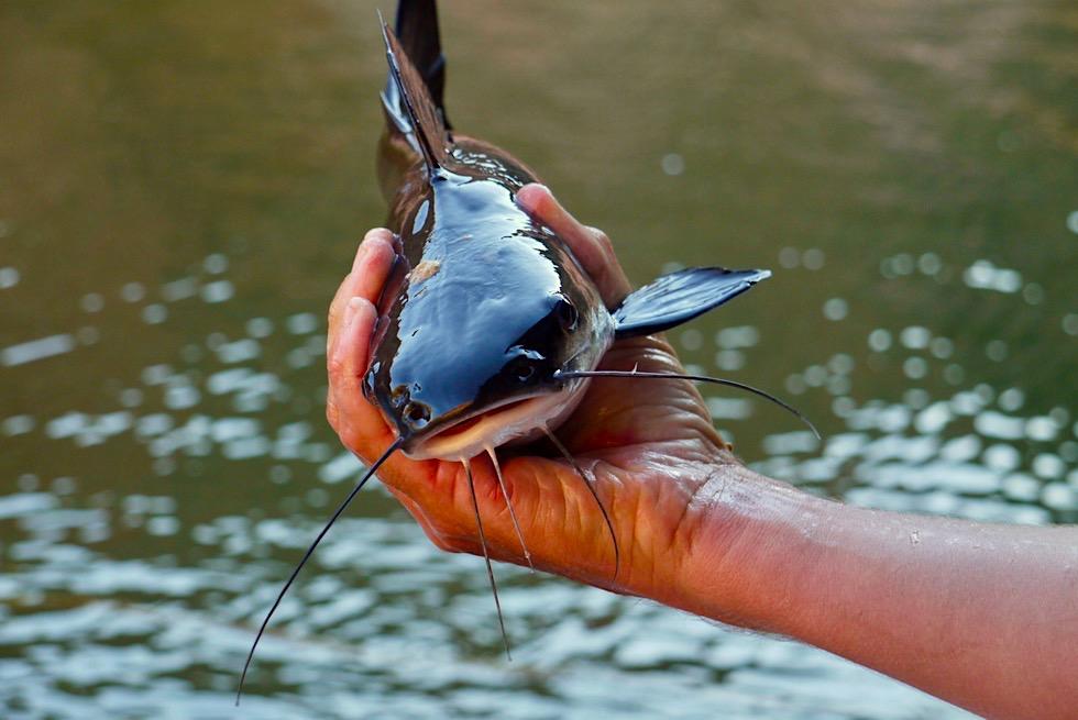 In allen Gewässern zu finden: Cat Fish oder Silver Cobbler - Katzen-Welse - Kimberley - Western Australia