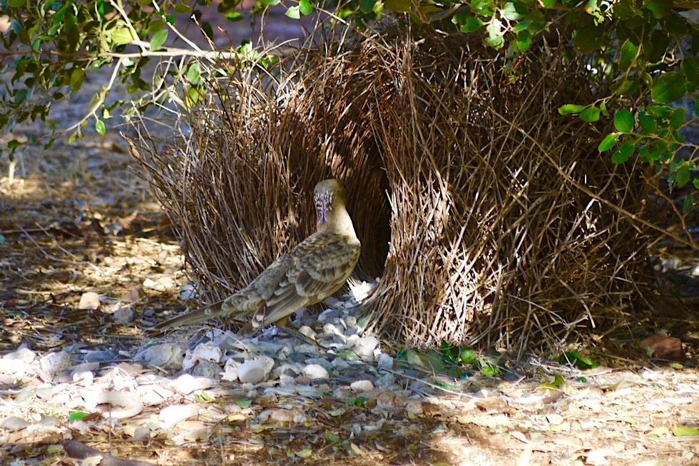 Faszinierende Great Bowerbirds oder Graulaubenvögel - Durack Homestead - Lake Argyle, Kimberley - Western Australia