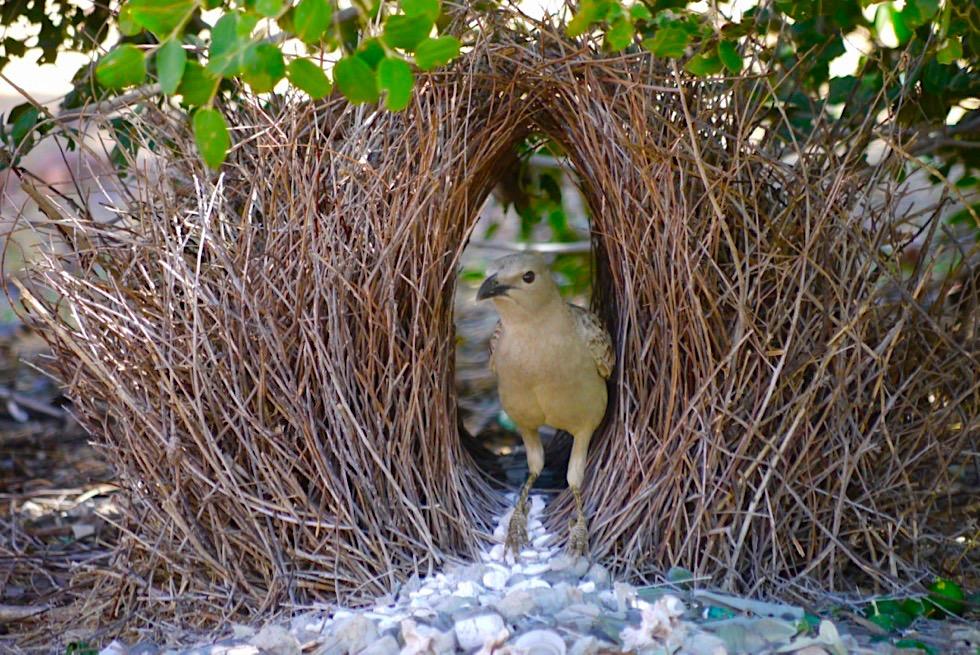 Faszinierende Great Bowerbirds oder Graulaubenvogel - Durrack Homestead - Kimberley, Western Australia