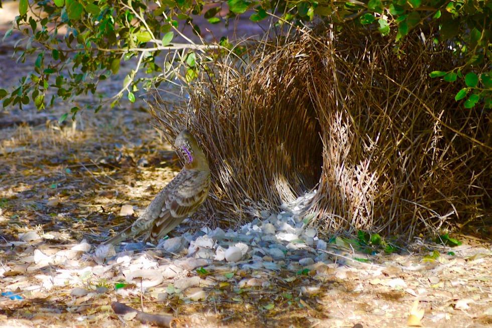 Faszinierend: Great Bowerbird beim Laubenbau - Durrack Homestead - Kimberley, Western Australia