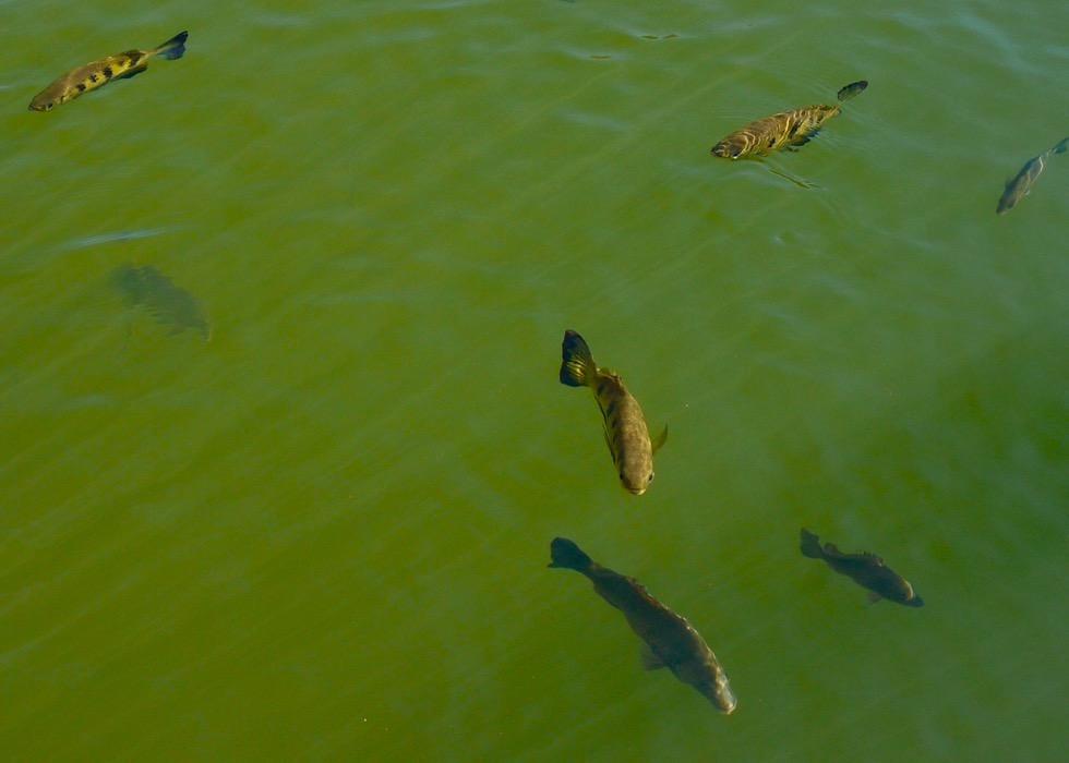 Lake Argyle - Spuckende Fische: Archer Fish oder Schützenfische - Kimberley - Western Australia