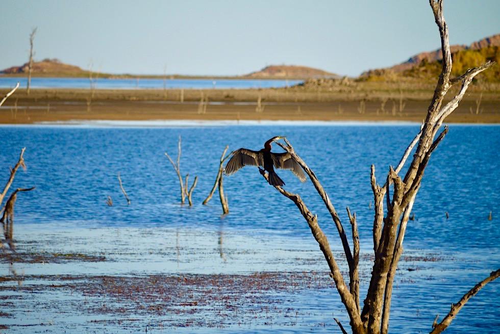 Lake Argyle - Australian Darter oder Schlangenhalsvogel trocknet sein Gefieder - Kimberley - Western Australia