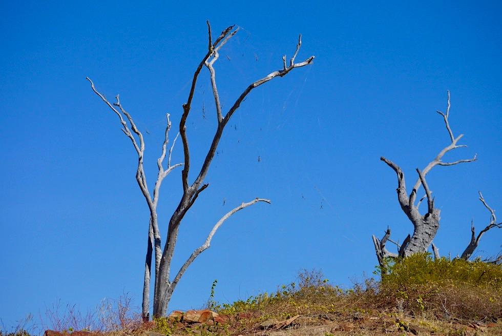 Lake Argyle - Absolut faszinierend: Golden Orb Weaver oder Seidenspinnen Netze - Kimberley - Western Australia