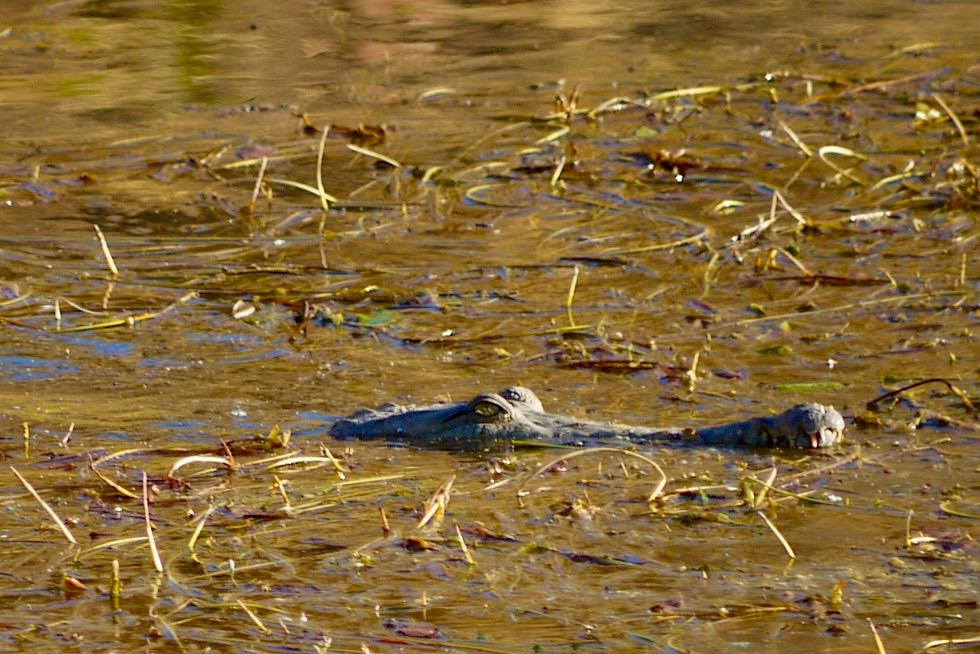 Lake Argyle - Krokodil, Meister der Tarnung - Kimberley - Western Australia