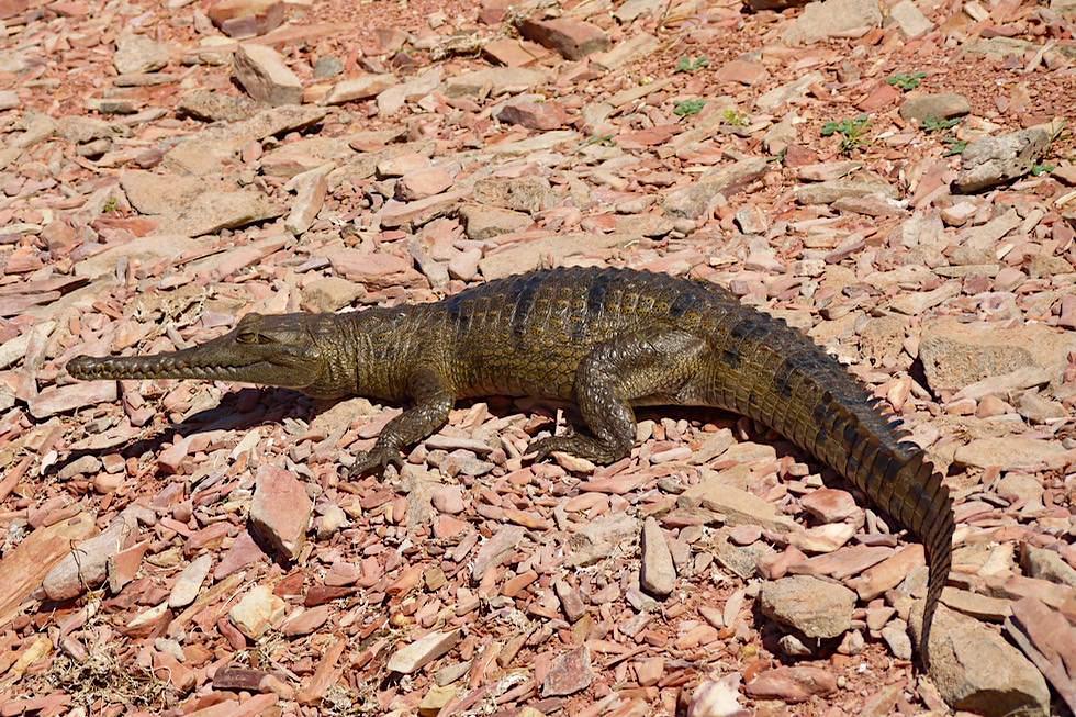 Lake Argyle - Krokodil am Ufer der Inseln - Kimberley - Western Australia