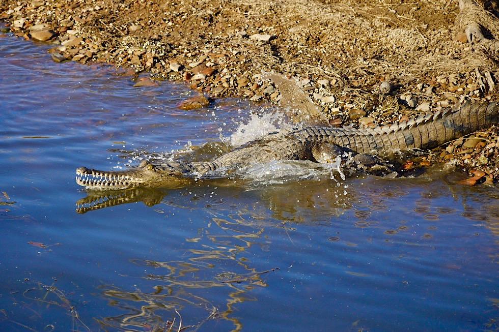 Lake Argyle - Faszinierend: Krokodil gleitet ins Wasser & Wasserspiegelung von seinem Gebiss - Kimberley - Western Australia