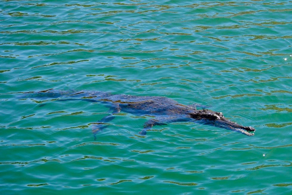 Lake Argyle - Krokodil schwimmt im See - Kimberley - Western Australia