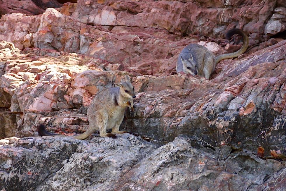 Lake Argyle Cruise - Seltene, süße Kurzohr-Felskängurus in den Felsen - Kimberley - Western Australia
