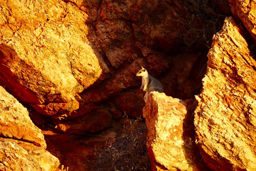 Lake Argyle - Rock-Wallaby bei Sonnenuntergang - Kimberley - Western Australia