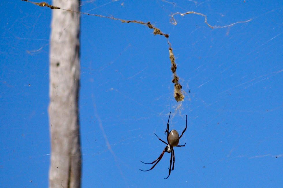 Lake Argyle - Seidenspinne oder Golden Orb Weaver - Kimberley - Western Australia