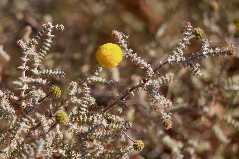 Lake Argyle Wanderungen - Pflanzen & Blühten am The Bluff Lookout - Kimberley, Western Australia