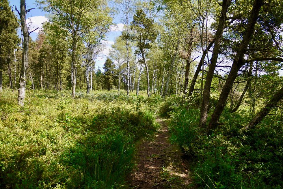 Wurzacher Ried - Wandern im Moorwald - größtes Hochmoor in Mitteleuropa - Baden-Württemberg
