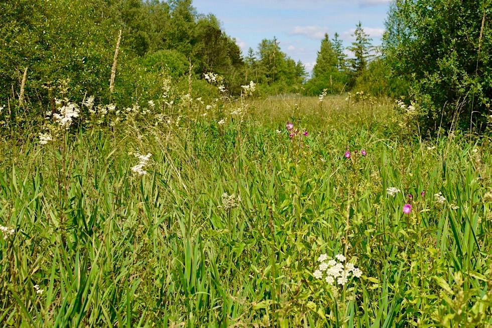 Wurzacher Ried - Niedermoor mit Blumen - Baden-Württemberg