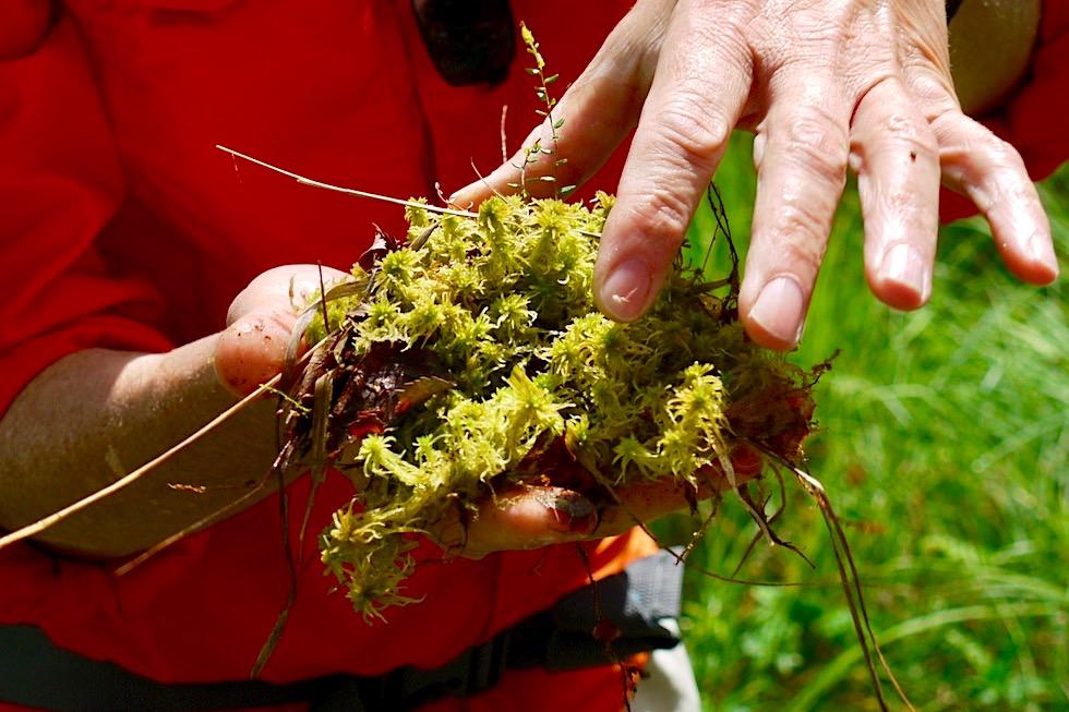 Wurzacher Ried - Hochmoore entstehen vor allem durch das Wachstum von Torfmoose - Baden-Württemberg