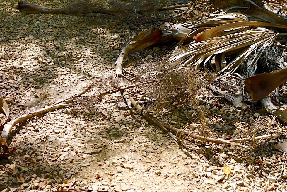 Bitter Springs - Rundgang im Elsey National Park: vertrocknete Palmenblätter krachen auf den Pfad - Northern Territory