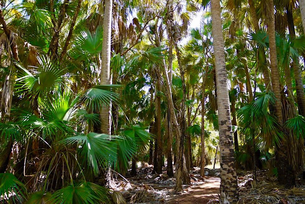 Bitter Springs - Rundgang durch Livistona Fächer-Palmen-Wald - Elsey National Park - Northern Territory