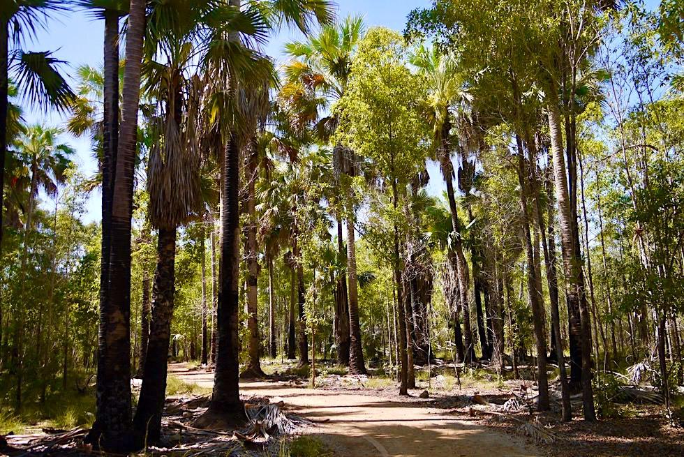 Bitter Springs - Palmen gesäumter Weg zu den Thermal Pools - Elsey National Park - Northern Territory