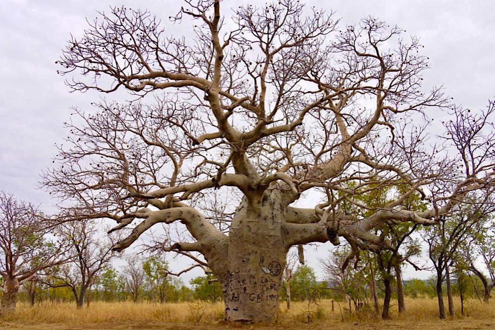 Riesiger Boab Baum bei der Rest Area an der Grenze Western Australia & Northern Territory