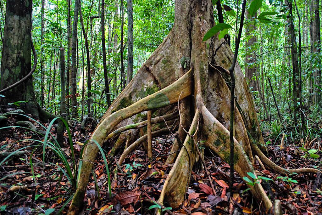 Ausbildung imposanter Brettwurzeln der Regenwaldbäume für mehr Standfestigkeit und bessere Nährstoffaufnahme - Daintree Rainforest - Wet Tropics of Queensland