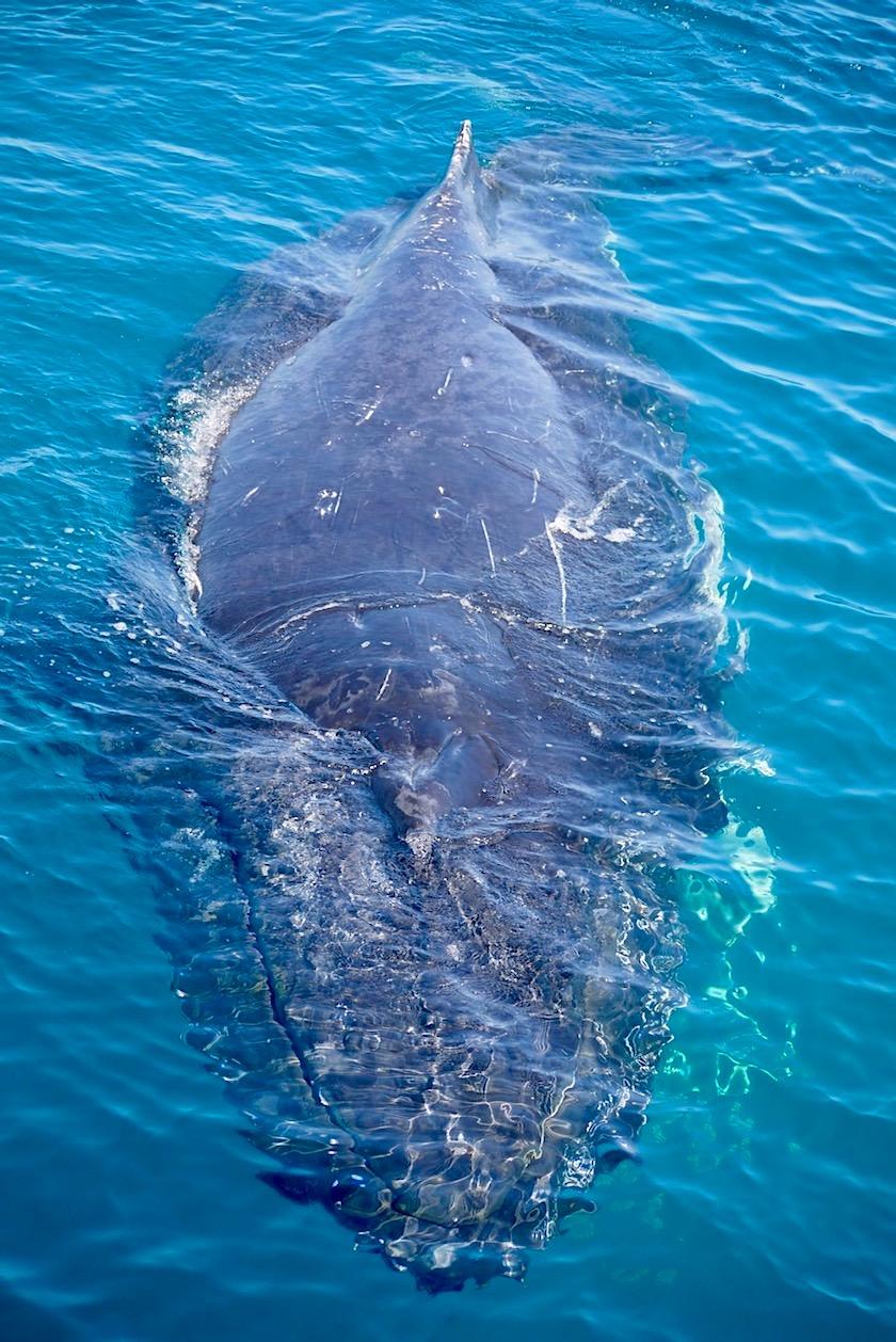 Buckelwale beobachten in Hervey Bay - Freedom Whale Watch Tagestour - Queensland