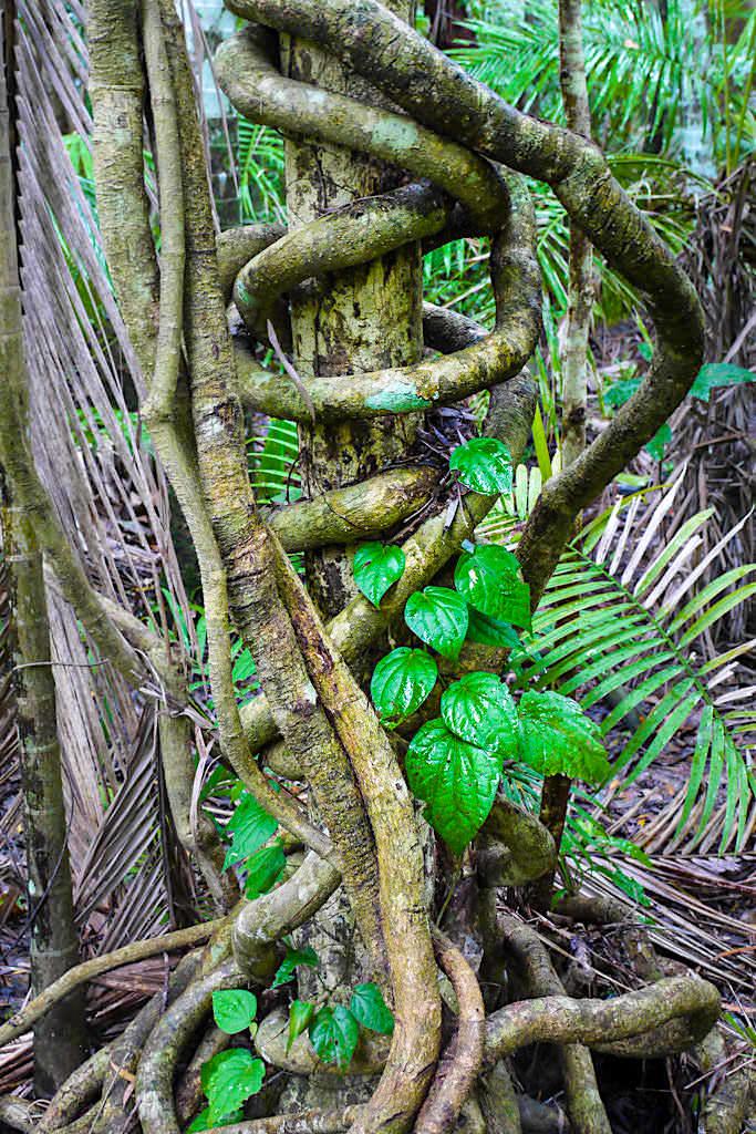 Daintree Nationalpark - Mossman Gorge: schöne Spazierwege rund um die Schlucht - Wet Tropics Queensland