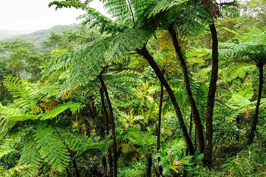 Daintree Nationalpark - Ausblick vom Mount Alexandrea Lookout über das Blätterdach des Regenwaldes - Wet Tropics Queensland