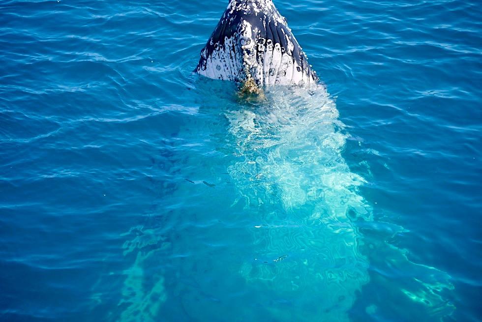 Hervey Bay Wale beobachten - Buckelwale beim Spyhopping - Freedom Whale Watch - Queensland