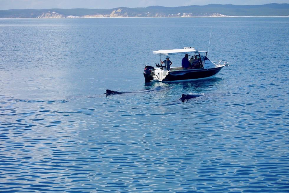 Hervey Bay - Buckelwale nähern sich kleinem Touristenboot - Freedom Whale Watch - Queensland