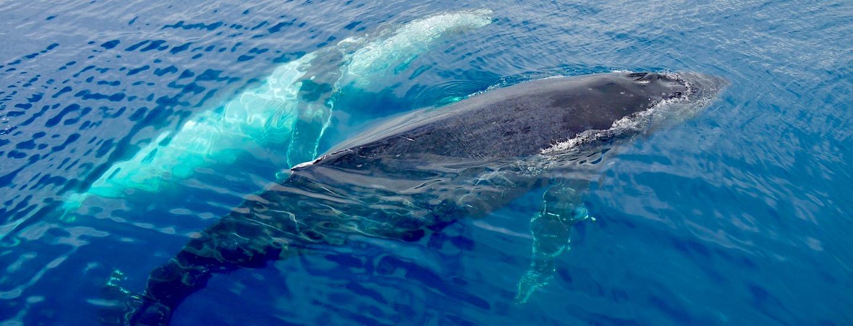 Hervey Bay: Spielplatz der Buckelwale – Wale aus nächster Nähe erleben!