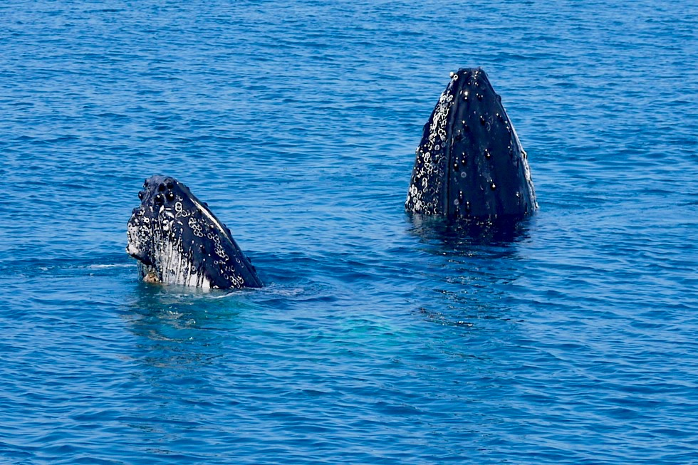 Hervey Bay - Buckelwale beobachten mit Freedom Whale Watch - Spyhopping: Ausschau halten & Umgebung inspizieren - Queensland
