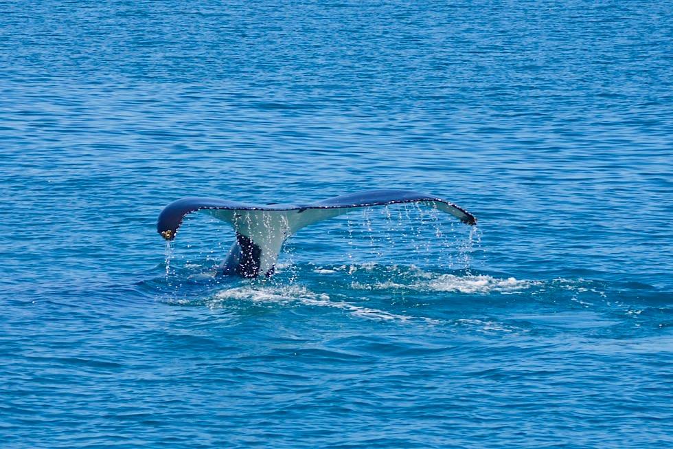 Hervey Bay Walbeobachtung - Schwanzflosse & Wasserfontäne - Queensland