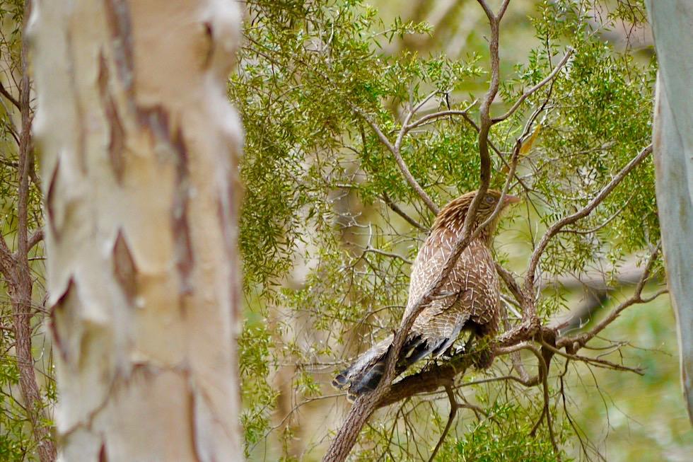 Karijini National Park - Beeindruckende Vogelwelt: Fasanspornkuckuck oder Pheasant Coucal - Pilbara, Western Australia