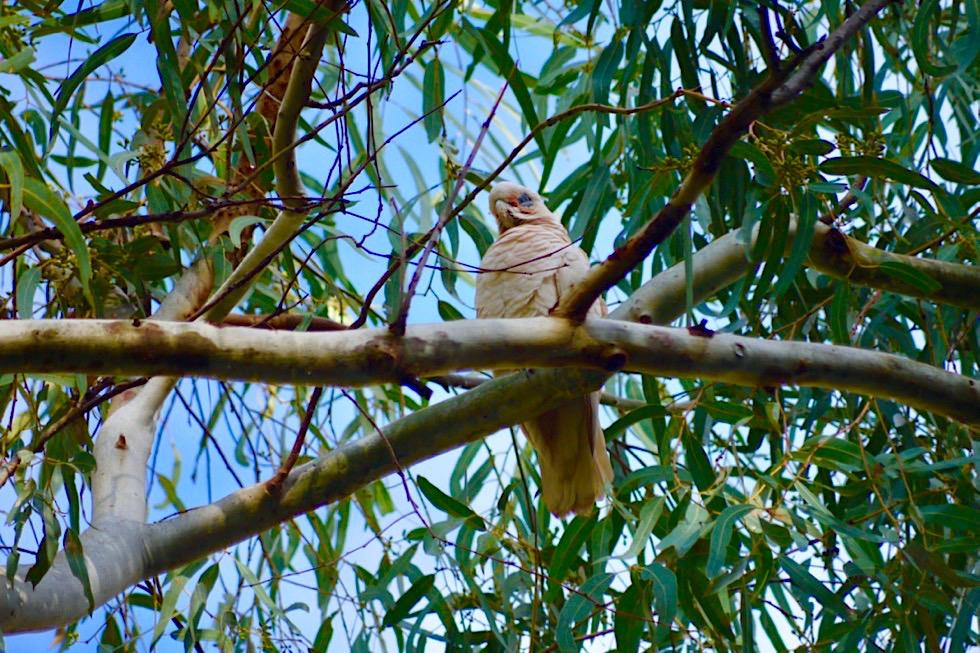 Karijini National Park - Western Corella - Pilbara, Western Australia