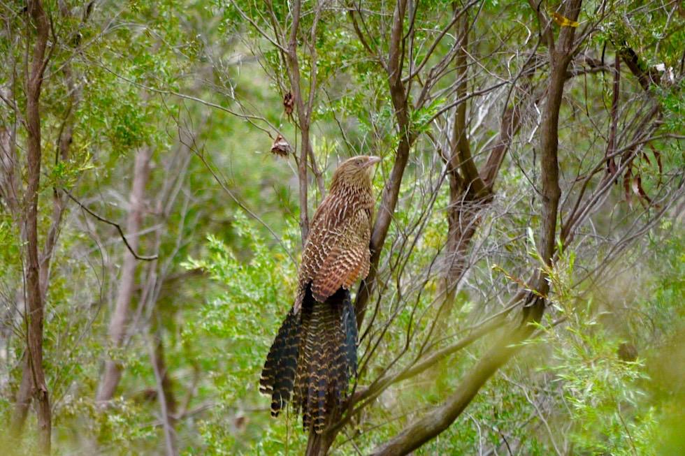 Karijini National Park - Faszinierende Fauna: Pheasant Coucal oder Fasanspornkuckuck - Pilbara, Western Australia