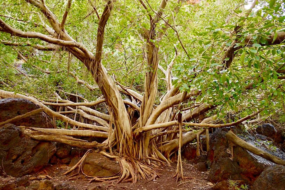 Karijini National Park - Wurzelkunstwerk auf dem Weg zum Fern Pool - Pilbara - Western Australia