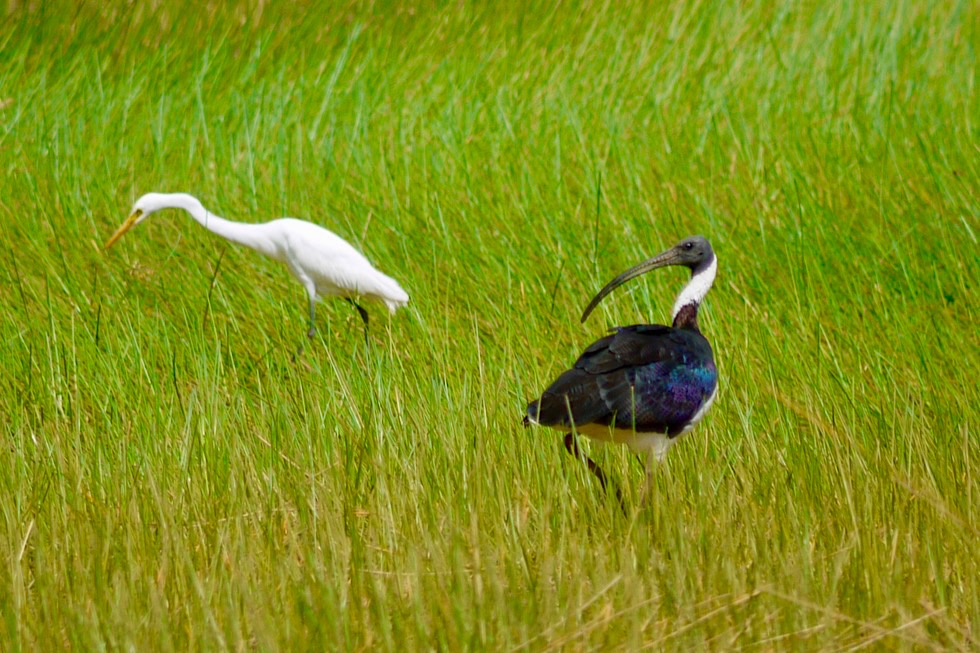 Keep River National Park - Vogelparadies Cockatoo Lagoon: Little Egret oder Seidenreiher & Straw-necked Ibis - Top End, Northern Territory