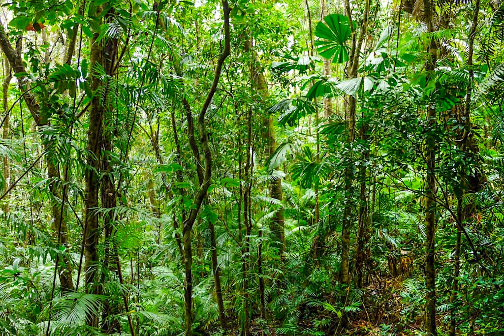 Moosman Section, der weit ursprünglichere Teil des Daintree Nationalpark - Wet Tropics of Queensland