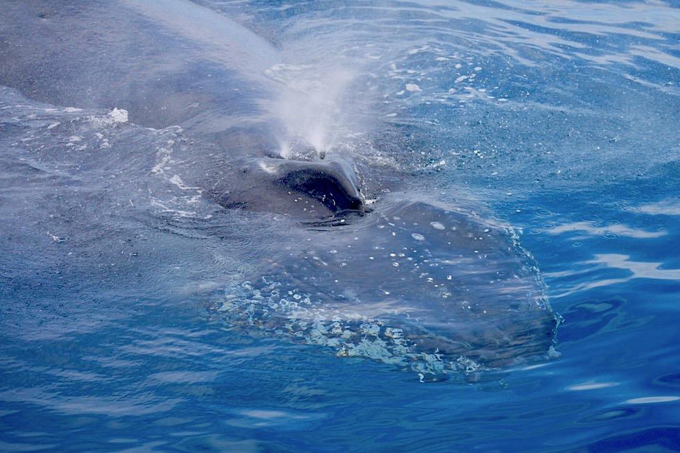 Buckelwal Safari mit Freedom Whale Watch - Hervey Bay - Queensland