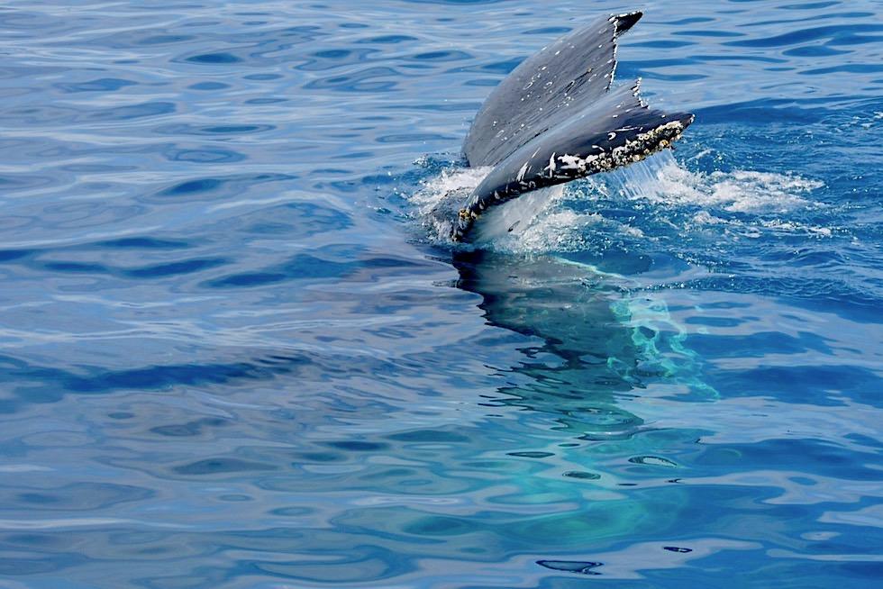 Buckelwale beim Flukenschlagen oder Lobtailing - Freedom Whale Watch - Hervey Bay - Queensland