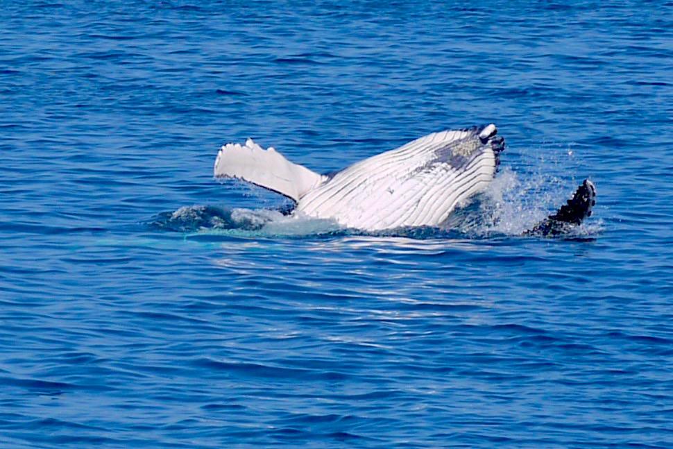 Buckelwale - 14-20 Kehlfurchen auf dem Bauch - Freedom Whale Watch -Hervey Bay - Queensland