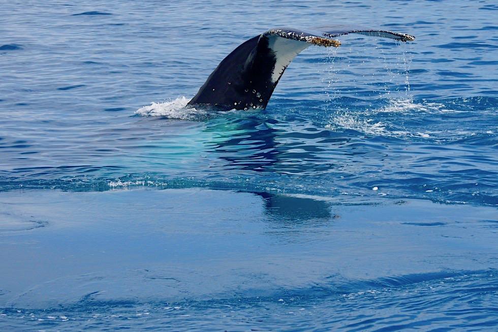 Buckelwale - Lobtailing: Auflagen mit Schwanzflosse - Hervey Bay - Queensland