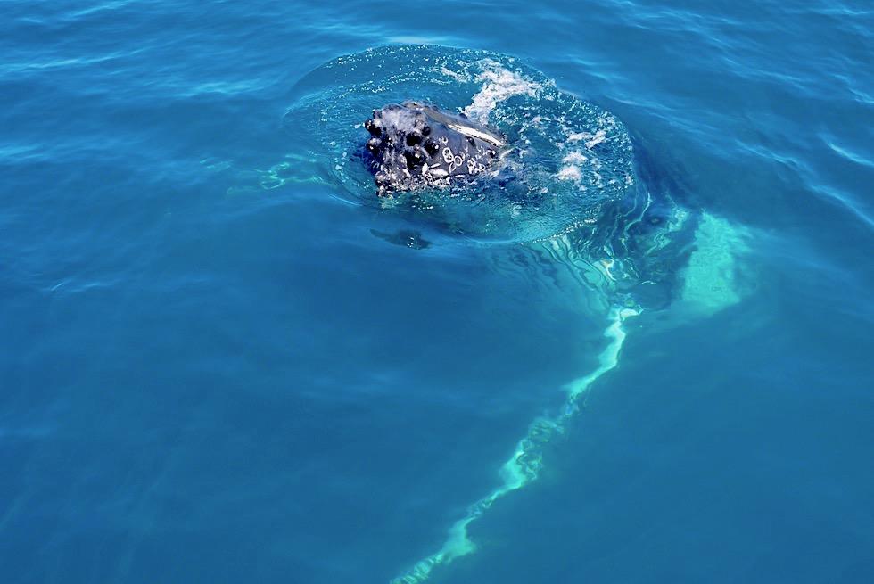 Buckelwale beobachten in Hervey Bay auf der Freedom III - Queensland