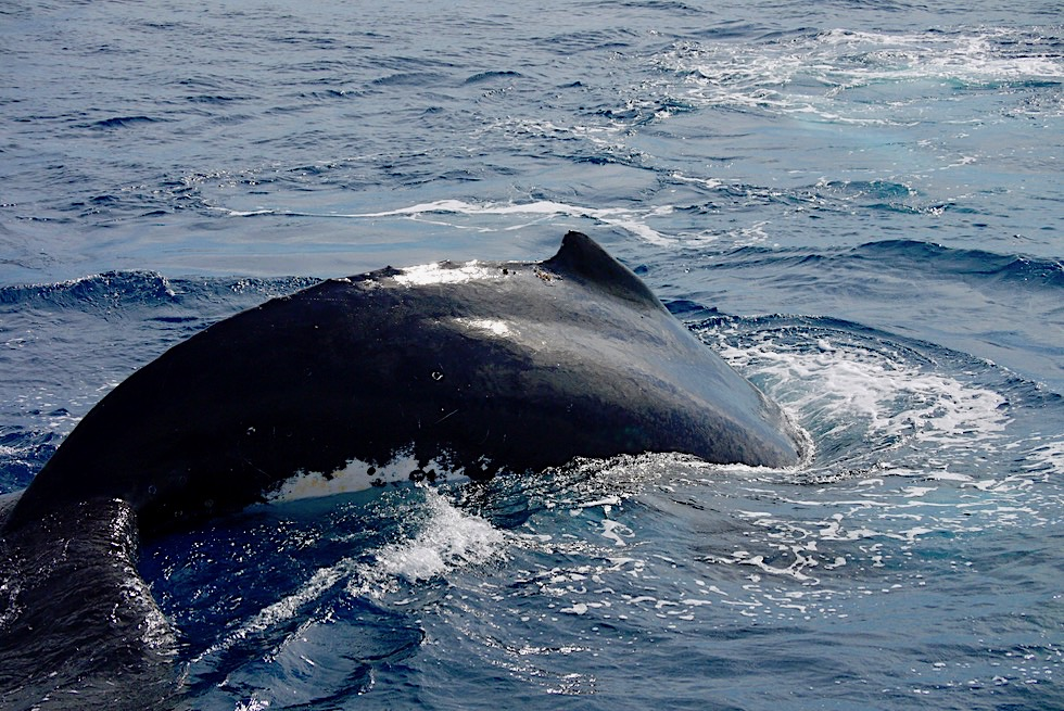 Buckelwale: warum heißen sie so? - Hervey Bay - Queensland
